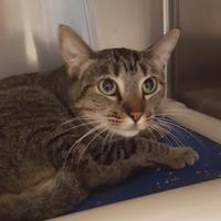 Adopt A Pet :: 653338 - Bakersfield, CA