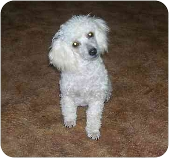 Toy Poodle Dog for adoption in Evansville, Indiana - Lance