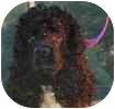 Cocker Spaniel Dog for adoption in Hamilton, Ontario - Cuddles