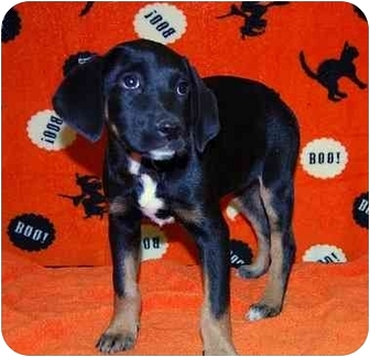 Catahoula Leopard Dog Mix Puppy for adoption in Broomfield, Colorado - Lily Potter