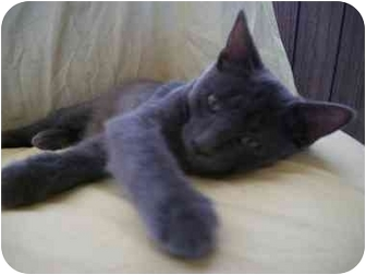 Domestic Shorthair Cat for adoption in Quartzsite, Arizona - Squirt