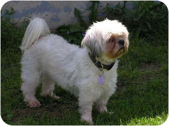 Shih Tzu Dog for adoption in Rigaud, Quebec - Jillie
