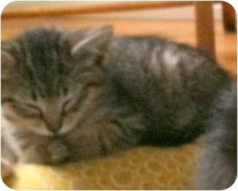 Domestic Shorthair Kitten for adoption in Troy, Michigan - Venus