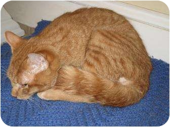Domestic Shorthair Cat for adoption in Worcester, Massachusetts - Romeo