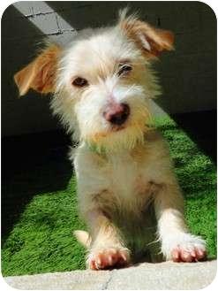 Terrier (Unknown Type, Medium) Mix Puppy for adoption in Mission Viejo, California - Heidi