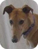 Greyhound Dog for adoption in Swanzey, New Hampshire - Todd