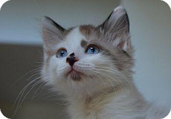 Ragdoll Kitten for adoption in Davis, California - Fuzzy Foo Foo