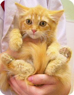 Domestic Longhair Kitten for adoption in Toledo, Ohio - Klinger
