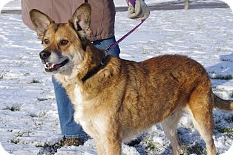 Shepherd (Unknown Type) Mix Dog for adoption in Elyria, Ohio - Bear Bear
