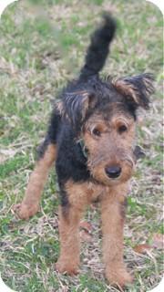 Welsh Terrier Dog for adoption in Woonsocket, Rhode Island - Baylor-adoption pending