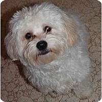Adopt A Pet :: Koby - Toronto/Etobicoke/GTA, ON