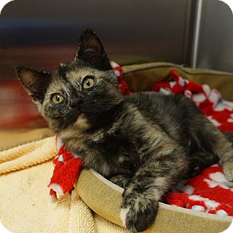Domestic Shorthair Kitten for adoption in Naperville, Illinois - Princess