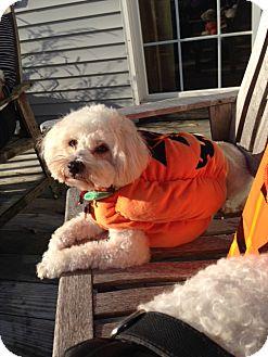 Bichon Frise/Shih Tzu Mix Dog for adoption in Glastonbury, Connecticut - Cotton in Worcester, Ma