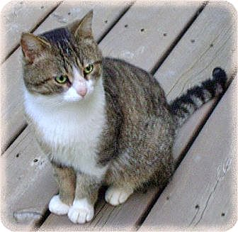 Domestic Shorthair Cat for adoption in Howell, Michigan - K.C.