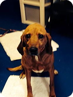 Redbone Coonhound/Bloodhound Mix Dog for adoption in New Kent, Virginia - Lucky Louie