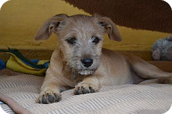 Border Terrier/Norwich Terrier Mix Puppy for adoption in San Francisco, California - Pixel