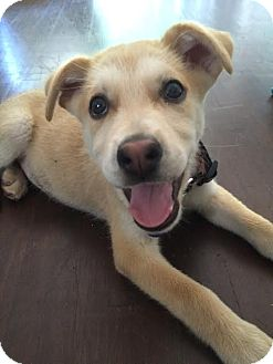 Husky/Shepherd (Unknown Type) Mix Puppy for adoption in Vancouver, British Columbia - Peanut