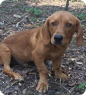 Basset Hound Mix Puppy for adoption in Harrisonburg, Virginia - Curley