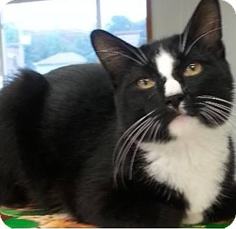 Domestic Shorthair Cat for adoption in Hillside, Illinois - Domino-FUNNY & AFFECTIONATE