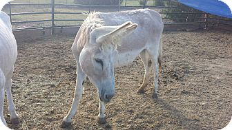 Donkey/Mule/Burro/Hinny Mix for adoption in Farmersville, Texas - Blondie