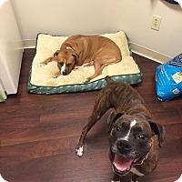 Adopt A Pet :: Kiya - Fenton, MI