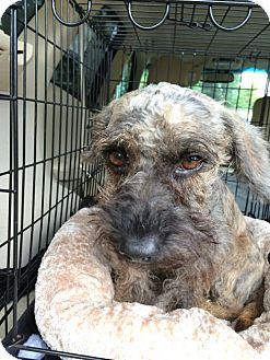 Standard Schnauzer Mix Dog for adoption in Spring, Texas - Lacie
