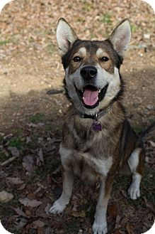 Husky/Shepherd (Unknown Type) Mix Dog for adoption in Windham, New Hampshire - Gray Wind (RS)
