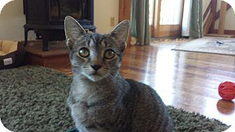 Domestic Shorthair Cat for adoption in Amherst, Massachusetts - Harley