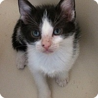Adopt A Pet :: White & Black male kitten PPB - Manasquan, NJ