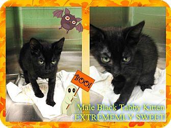 Domestic Shorthair Kitten for adoption in Kenansville, North Carolina - BLACK KITTEN