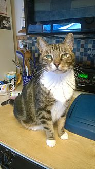 Domestic Shorthair Cat for adoption in La Mesa, California - Nullah
