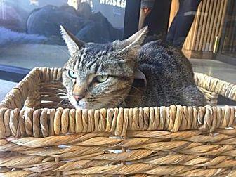 Domestic Shorthair Cat for adoption in Santa Monica, California - Ace