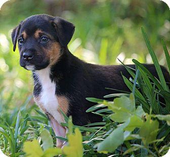 Labrador Retriever/German Shepherd Dog Mix Puppy for adoption in Aiken, South Carolina - Blaze