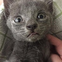 Domestic Shorthair Kitten for adoption in Cambridge, Maryland - Boo