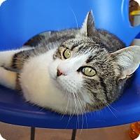 Adopt A Pet :: Starlord - Salisbury, MA