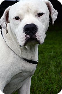 Pit Bull Terrier Mix Dog for adoption in LAFAYETTE, Louisiana - WYATT