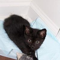 Domestic Shorthair Kitten for adoption in Marietta, Georgia - Ellen Tibbits