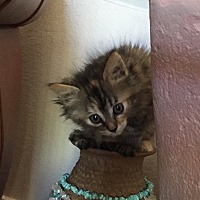 Adopt A Pet :: Riot - Prescott, AZ