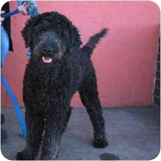 Golden Retriever/Poodle (Standard) Mix Dog for adoption in Denver, Colorado - Bubba