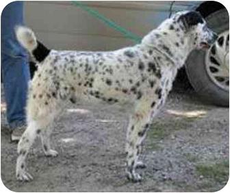 Australian Cattle Dog Mix Dog for adoption in Oxford, Michigan - Cheeto