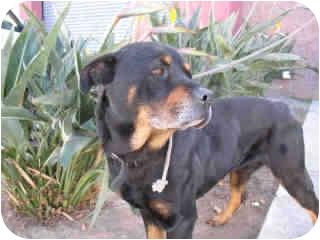 Rottweiler Dog for adoption in Santa Barbara, California - Allric