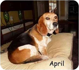 Beagle Dog for adoption in Big Canoe, Georgia - April