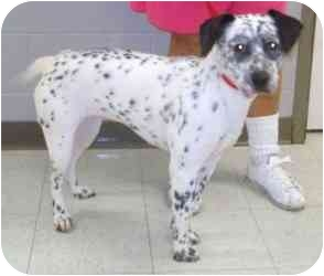 Dalmatian Mix Dog for adoption in Milwaukee, Wisconsin - Kippi