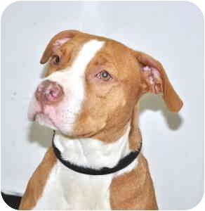 Pit Bull Terrier Mix Puppy for adoption in Port Washington, New York - Oakley