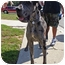 Photo 1 - Great Dane Puppy for adoption in Los Angeles, California - DODGER