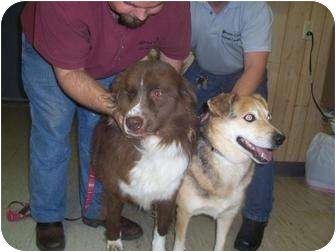 Lancashire Heeler Mix Dog for adoption in Mt. Vernon, Illinois - Jersey&Buddy