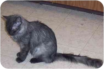 Maine Coon Cat for adoption in Simms, Texas - Kimberly