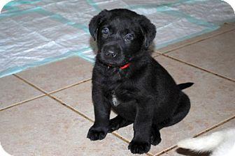 Labrador Retriever/German Shepherd Dog Mix Puppy for adoption in Minneola, Florida - Sawyer