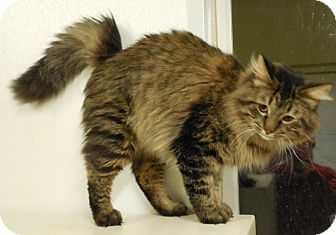 Domestic Mediumhair Cat for adoption in Grinnell, Iowa - Mountain Man