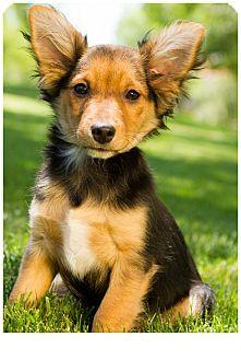 Chihuahua/Yorkie, Yorkshire Terrier Mix Puppy for adoption in Phoenix, Arizona - Marshal